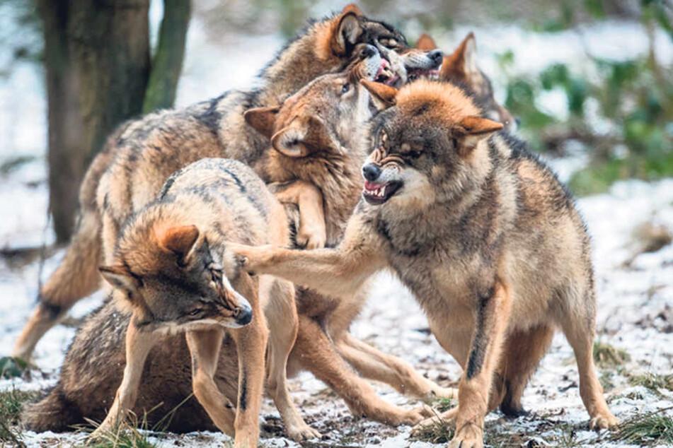 In der Region um die Gemeinde Ralbitz/Rosenthal gibt es besonders viele Wölfe, viele Schafe wurden getötet