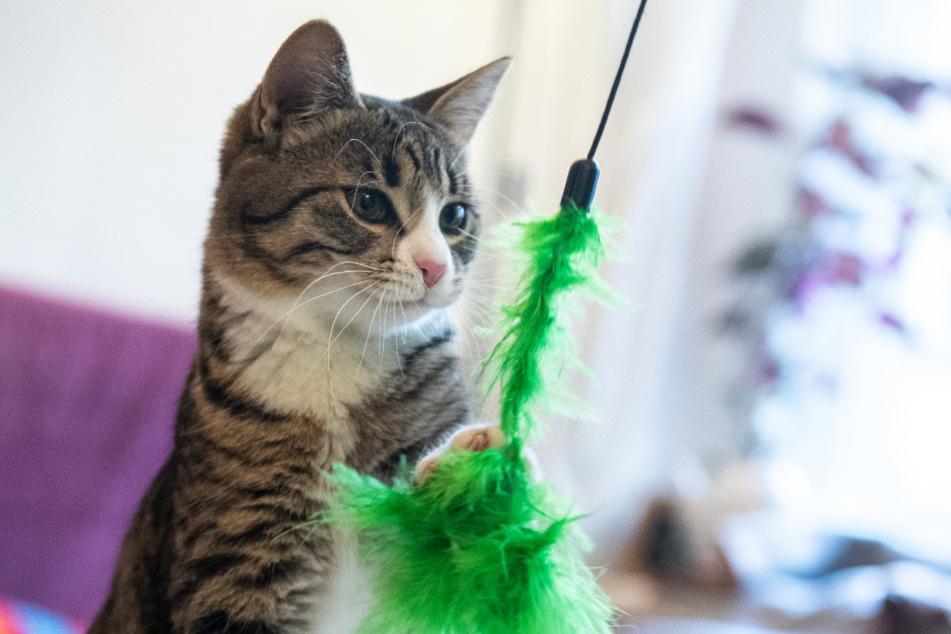 Was bedeutet das Virus für unsere Katzen?