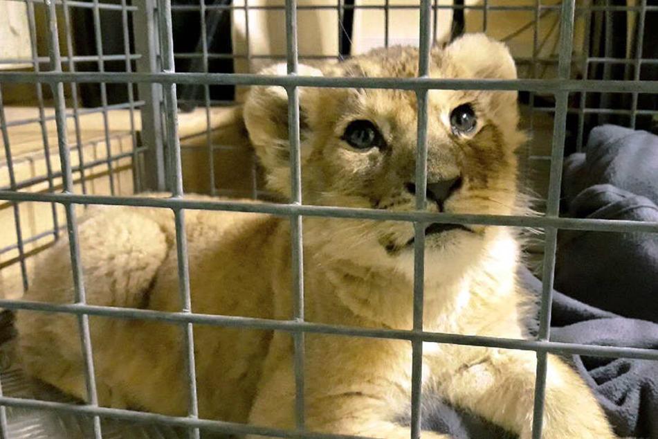 Wieder Löwenbaby in Frankreich entdeckt