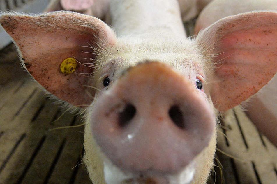 Für den Menschen ist die Viruserkrankung ungefährlich, für die Tiere endet die Pest in der Regel tödlich.