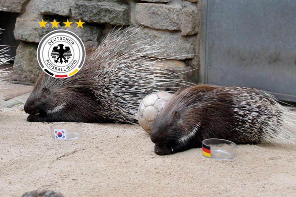 Deutschland-Südkorea: Das tierische Orakel im Tierpark Chemnitz tippt auf...