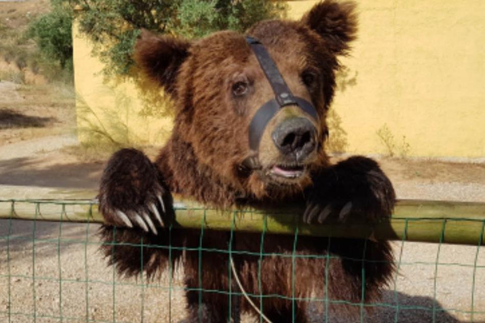 Zirkusbär Pardo steht in Spanien auf der Todesliste, doch die Stiftung für Bären kämpft weiterhin um sein Überleben.