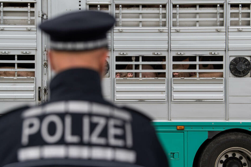 Polizisten kontrollieren einen Lastwagen, der Schweine geladen hat. Seit Jahren stehen lange Transporte von landwirtschaftlichen Nutztieren im Visier der Öffentlichkeit. (Archivbild)