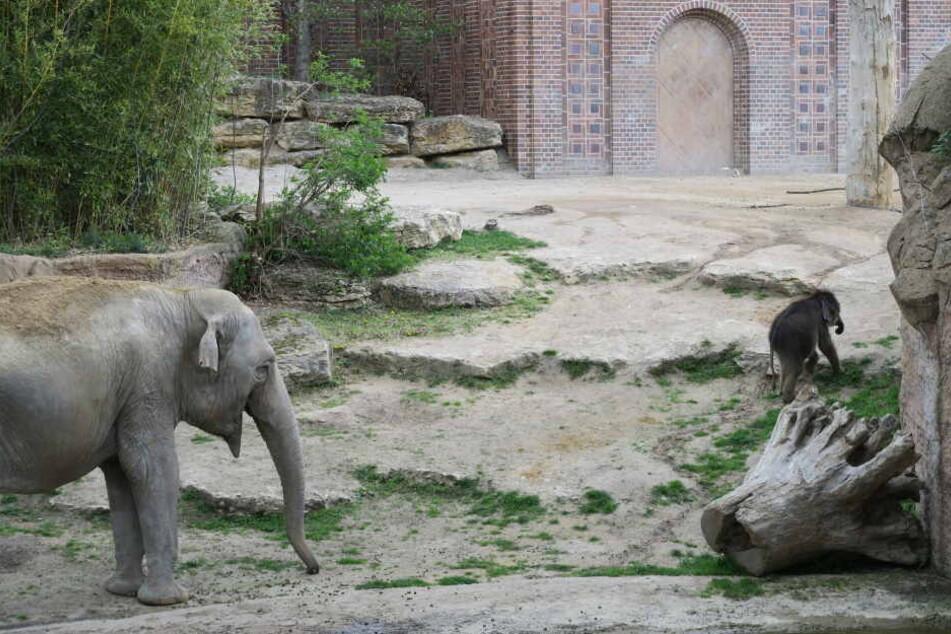 Gleichzeitig erkundet Leipzigs Mini-Rüssel zunehmend das Elefanten-Gehege.