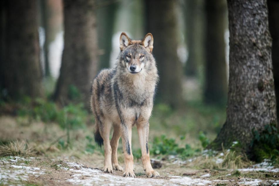 In Thüringen hat sich mittlerweile ein Rüde zur Wölfin gesellt. (Symbolbild)