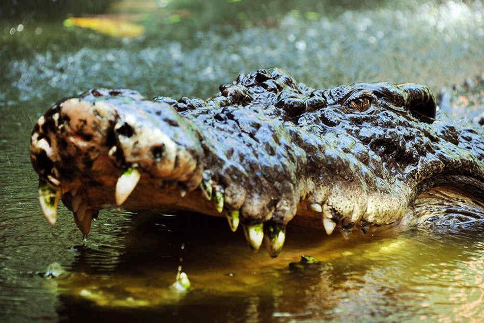 Gefährliche Krokodile sind in Australien weit verbreitet.
