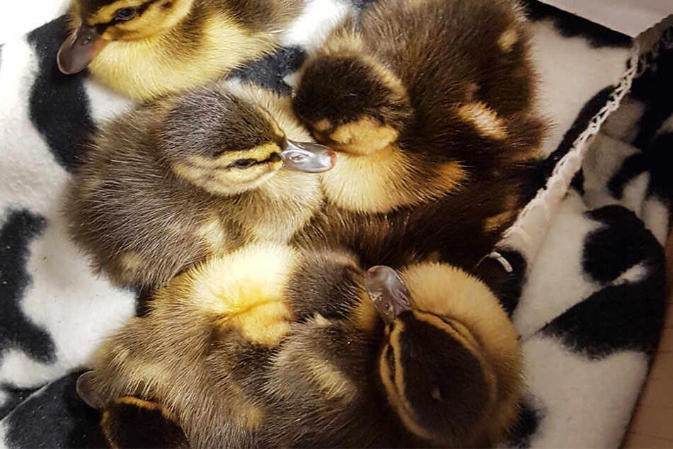 Vier Entenküken überlebten und sind jetzt ohne Mutter (Symbolbild)