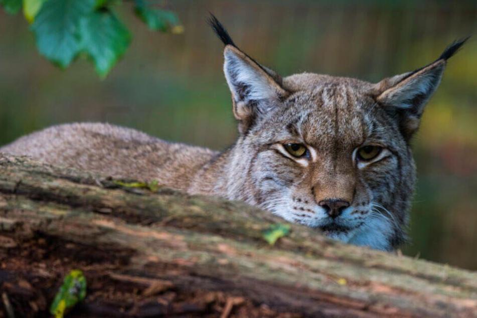 Der Luchs gehört zu einer streng geschützten Tierart.