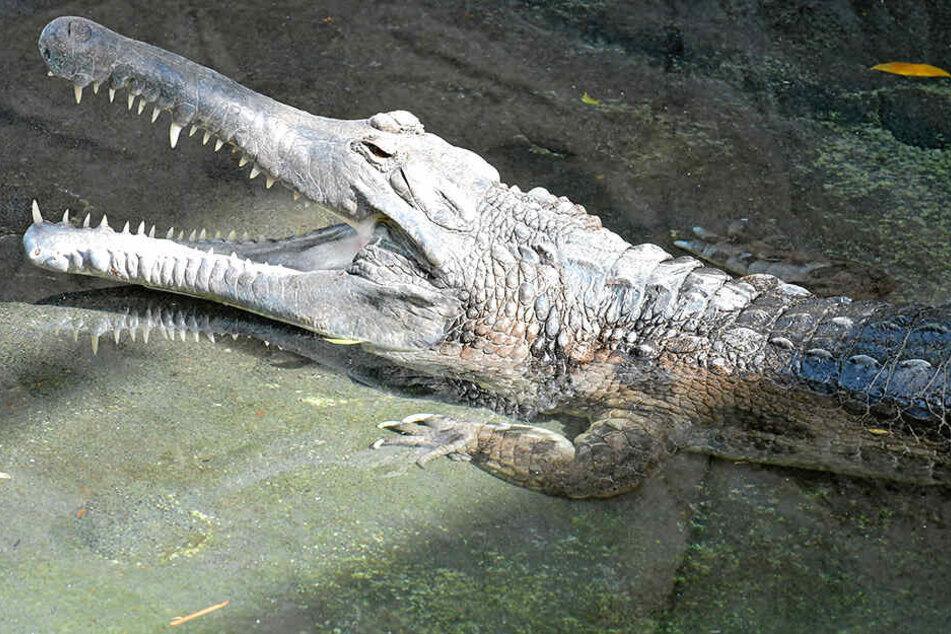 Zoo-Kroko De Gaulle planscht jetzt wieder vergnügt im gesäuberten Bassin.