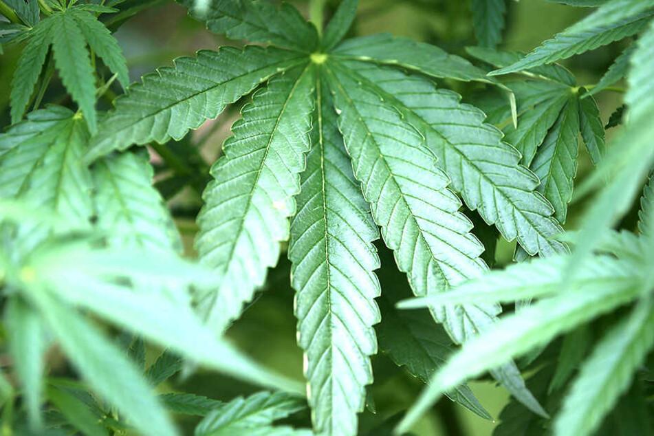 Eine Cannabis-Plantage in den eigenen vier Wänden hatte sich der Sachse zugelegt.