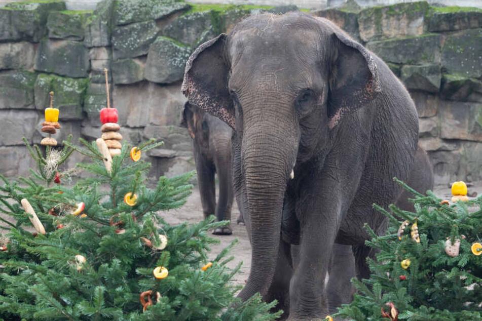 Was für Benjamin Blümchen die Zuckerstückchen, sind für die Elefanten im Berliner Zoo die Weihnachtsbäume. Sie gelten als Delikatesse bei den Dickhäutern. Doch sie freuen sich auch über Zuckerrohre.