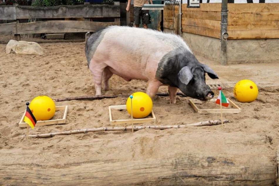 Orakel im Kölner Zoo: Schwein Harry hatte den richtigen Riecher.