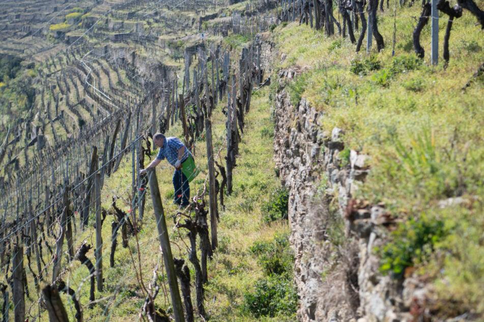 Ein Winzer auf einem Weinberg in Lauffen am Neckar.