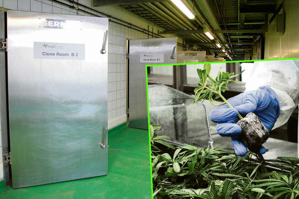 Hier entsteht Sachsens erste legale Cannabis-Plantage