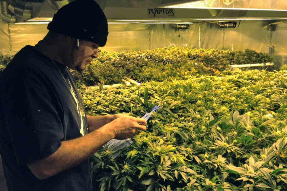 Hier werden in Colorado legal angebaute Marihuana-Pflanzen kontrolliert.