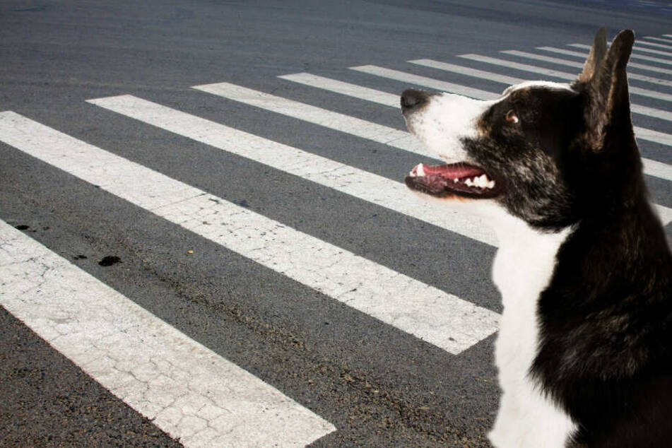 Ein streunender Hund half kleinen Kindern über die Straße. (Symbolbild)