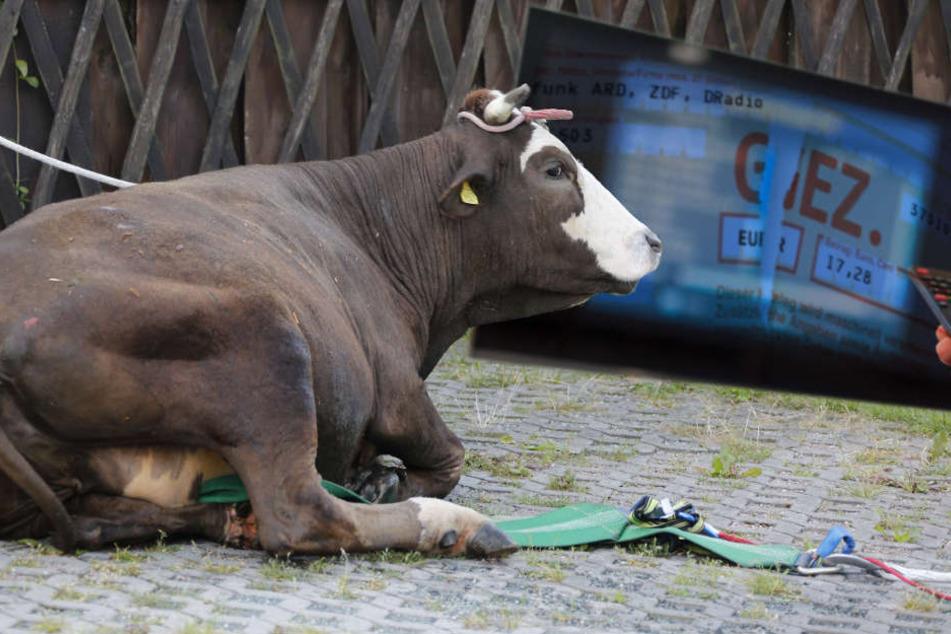 """Ein Bauer muss für seine Kühe für Unterhaltung und Information zahlen . weil es eine """"Betriebstätte"""" ist. (Symbolbild)"""