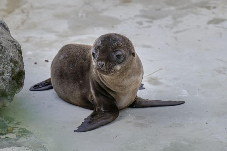 Das Seelöwen-Baby Lucy.