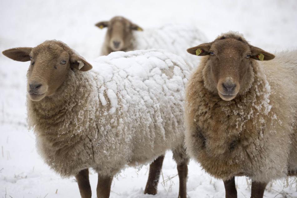 Auch diese Schafe sind jetzt vom Schnee bedeckt.