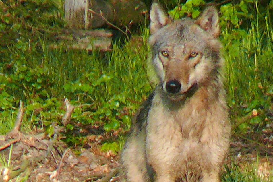Bereits von 2006 bis 2011 lebte ein Wolf im Reinhardswald.