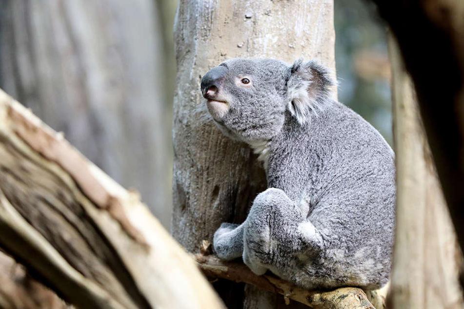 Zoo-Direktor Jörg Junhold glaubt nicht, dass sich der kleine Koala am Alleinsein stört.
