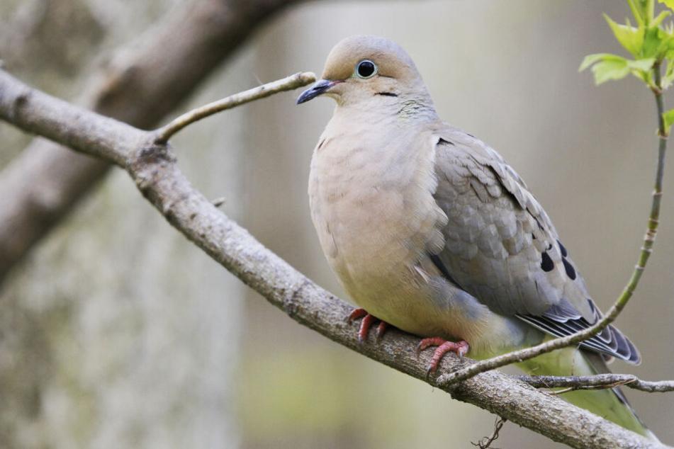 Um Falken zu töten: Züchter opfert seine Taube mit verbotenem Gift