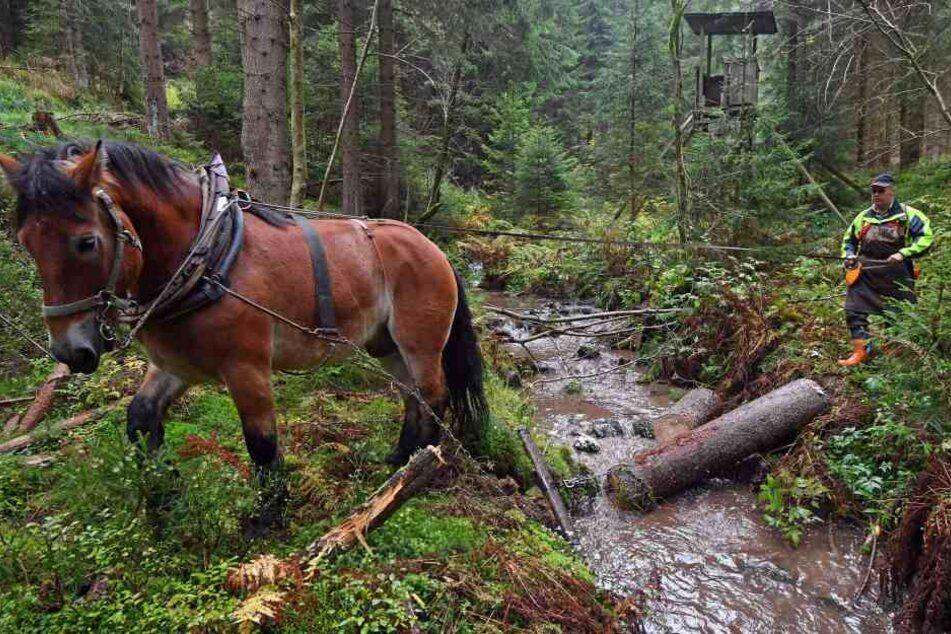 Bei der Rentaurierung des Kohlenbachs werden auch Pferde eingesetzt.