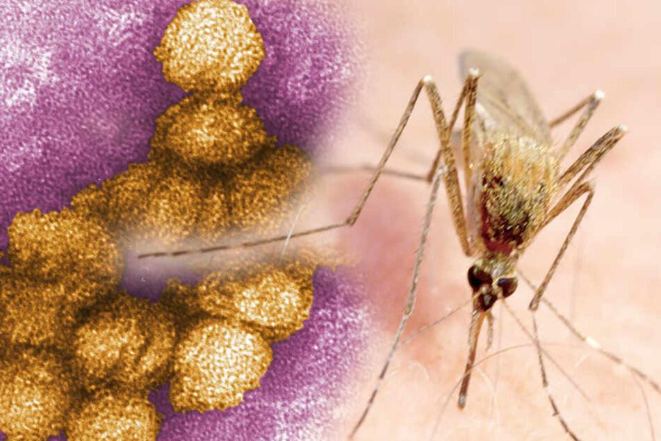 Gefährlicher Virus in Deutschland: Sachse von Killer-Mücke infiziert!