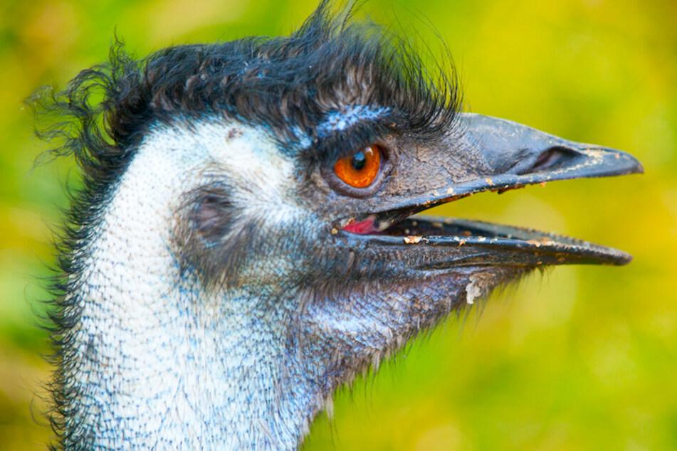 Ein ausgebrochener Emu hat in der Oberpfalz für Aufregung gesorgt. (Symbolbild)