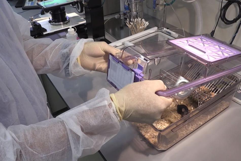 Ein Wissenschaftler öffnet in einem Versuchslabor einen Käfig, um eine Maus für eine Tierversuch zu entnehmen.