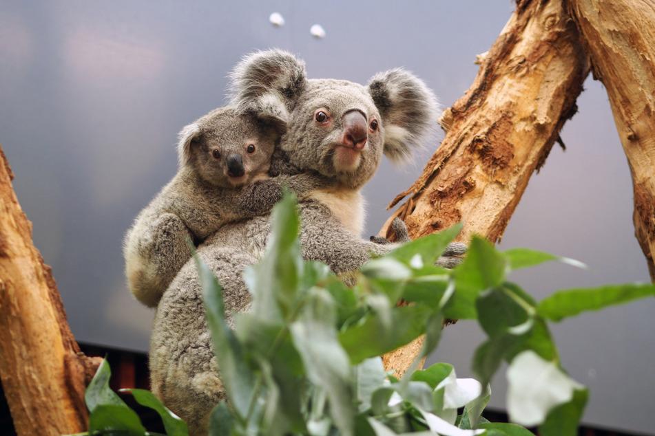 Koala-Baby Bouddi hat sich am liebsten von Mama Mandie herumtragen lassen, als er noch klein war. (Archivbild)