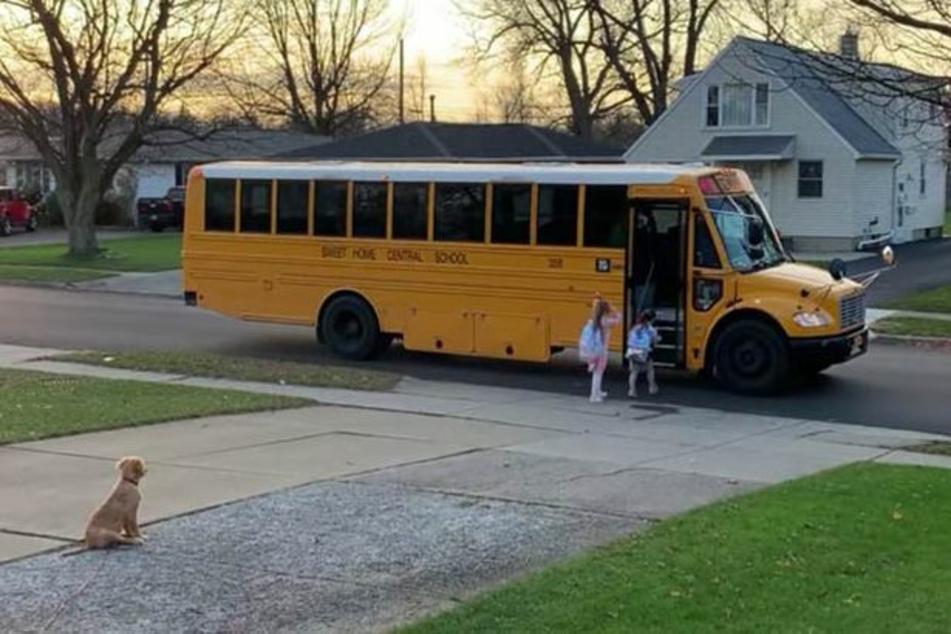 "Golden Retriever Bentley brings ""his"" children to the bus each morning."