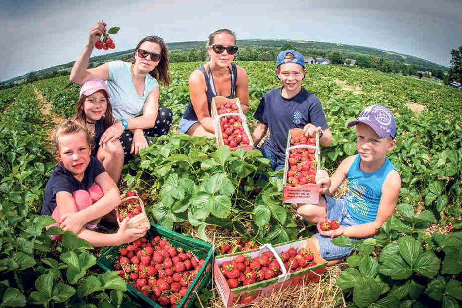 In Niederdorf pflücken Amelie (7, v.l.), Annemarie (10) und Sandy Weigel (41) sowie Till (6, r.), Finn (10) und Theresa Prillwitz (35) Erdbeeren.