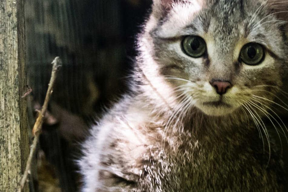 Wildkatzen sehen Hauskatzen auf den ersten Blick täuschend ähnlich.
