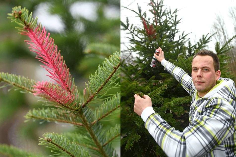 Cleverer Trick gegen Weihnachtsbaum-Diebe: Unter der Rinde ist DAS versteckt!