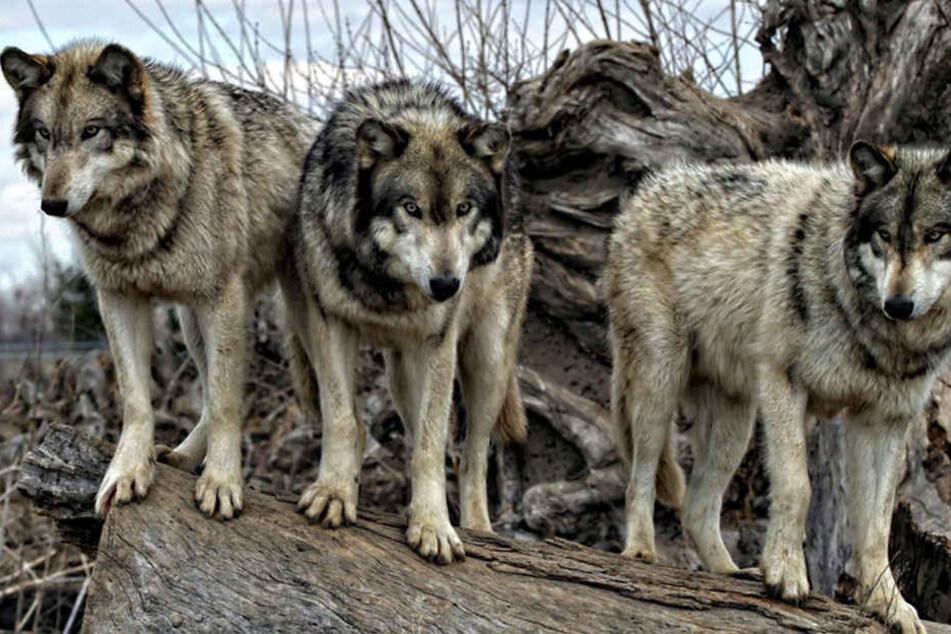 Das Sauerland und Ostwestfalen-Lippe sind besonders geeignet für Wölfe. (Symbolbild)