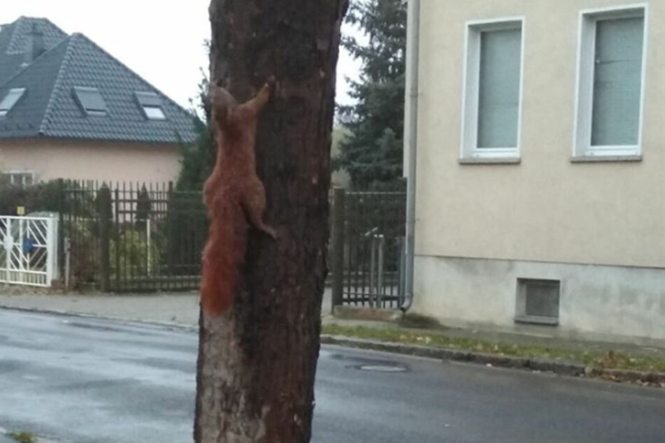In der Risaer Straße ist ein Eichhörnchen offenbar lebendig an einen Baum genagelt worden.