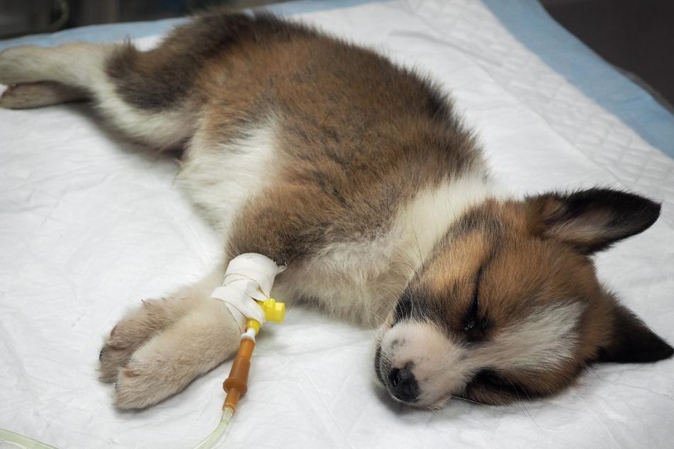 Hund zu Tode vergewaltigt: Er war erst sechs Monate alt!