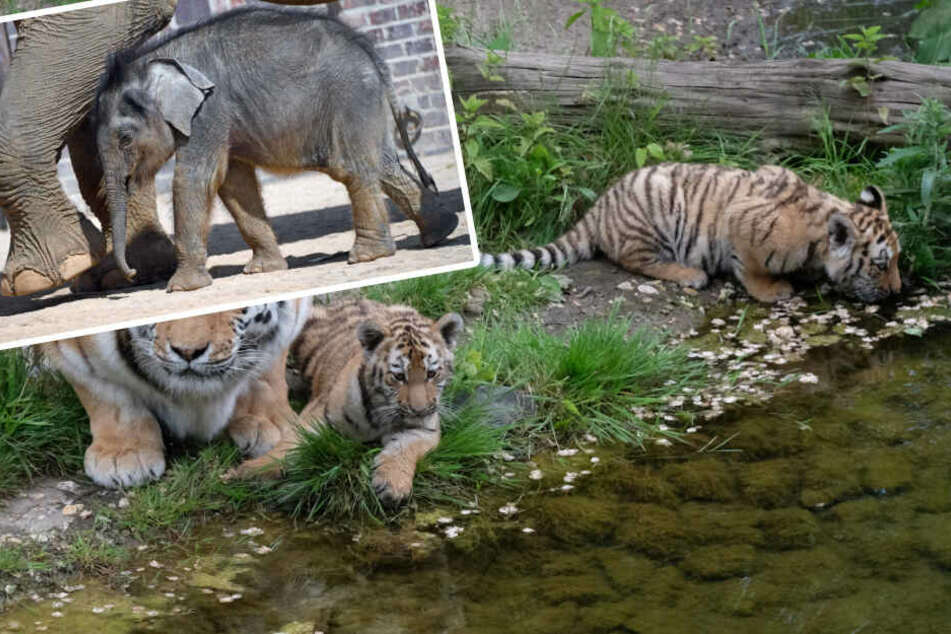 """""""Elefant, Tiger & Co."""": Es geht aufwärts im Elefanten-Gehege und ein Tiger geht auf Reisen"""