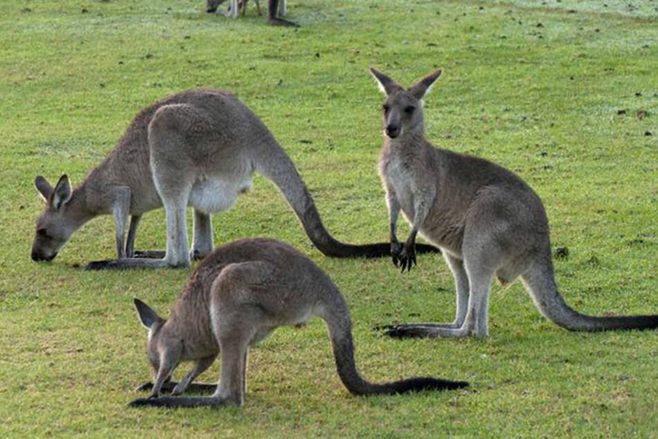 Insgesamt sind vier Kängurus zusammen in der Stadt unterwegs. (Symbolbild)