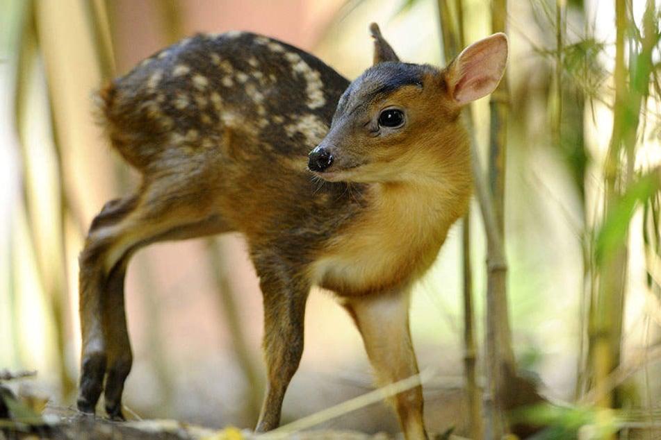 Ein Jungtier des Chinesischen Muntjaks. Die Zucht der Zwerg-Hirsche ist aufgrund einer EU-Verordnung verboten. Deshalb werden vier Tiere im Leipziger Zoo geschlachtet.