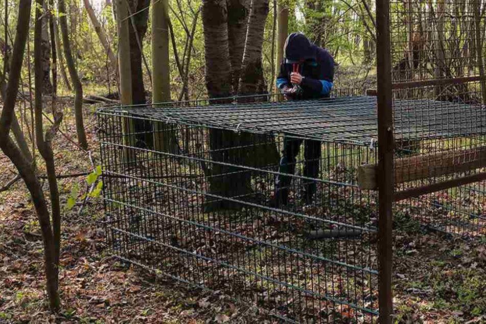 Der Täter baute die Wildschweinfalle nach seinem Diebstahl wieder auf.