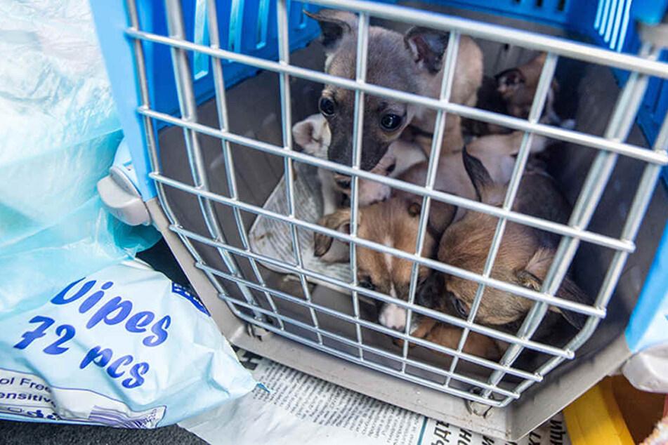 Eingepfercht in viel zu kleinen Transportboxen müssen die Tiere über mehrere Stunden ohne Essen und Wasser auskommen. (Symbolbild)