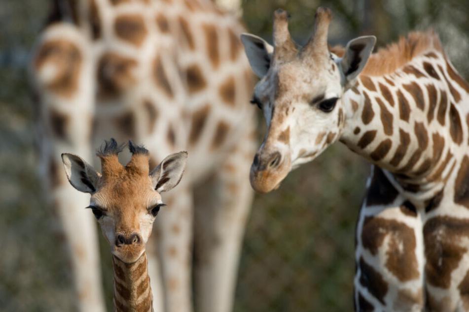 Große Trauer im Tierpark Hagenbeck: Giraffe Layla bricht tot zusammen