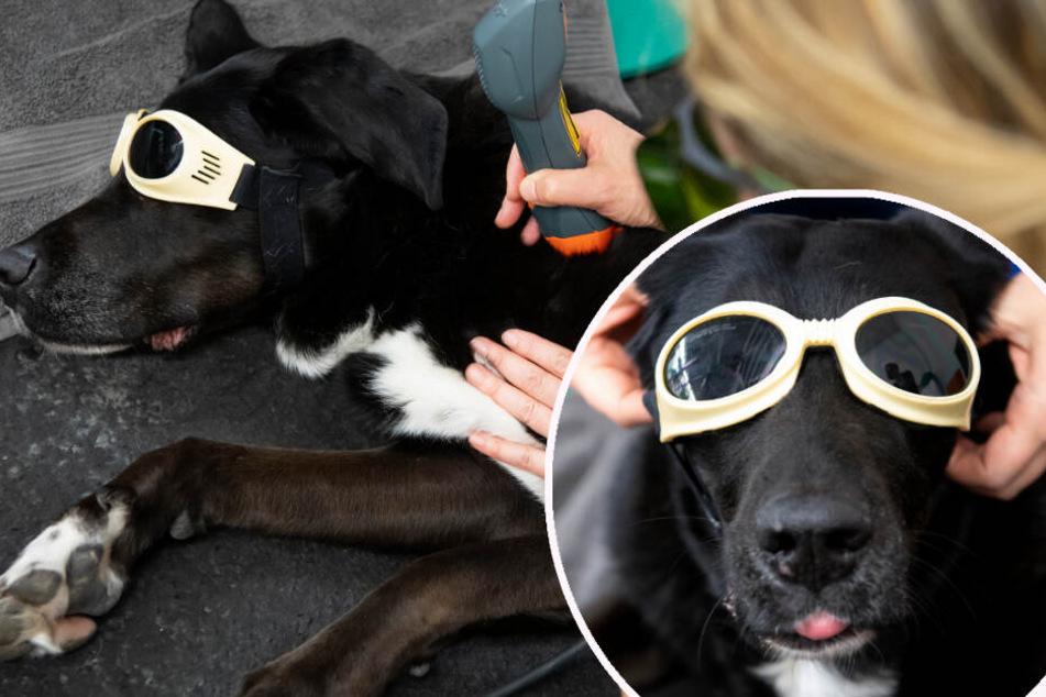 Massage, Laser, Laufband: Das passiert, wenn ein Hund zum Physiotherapeuten geht