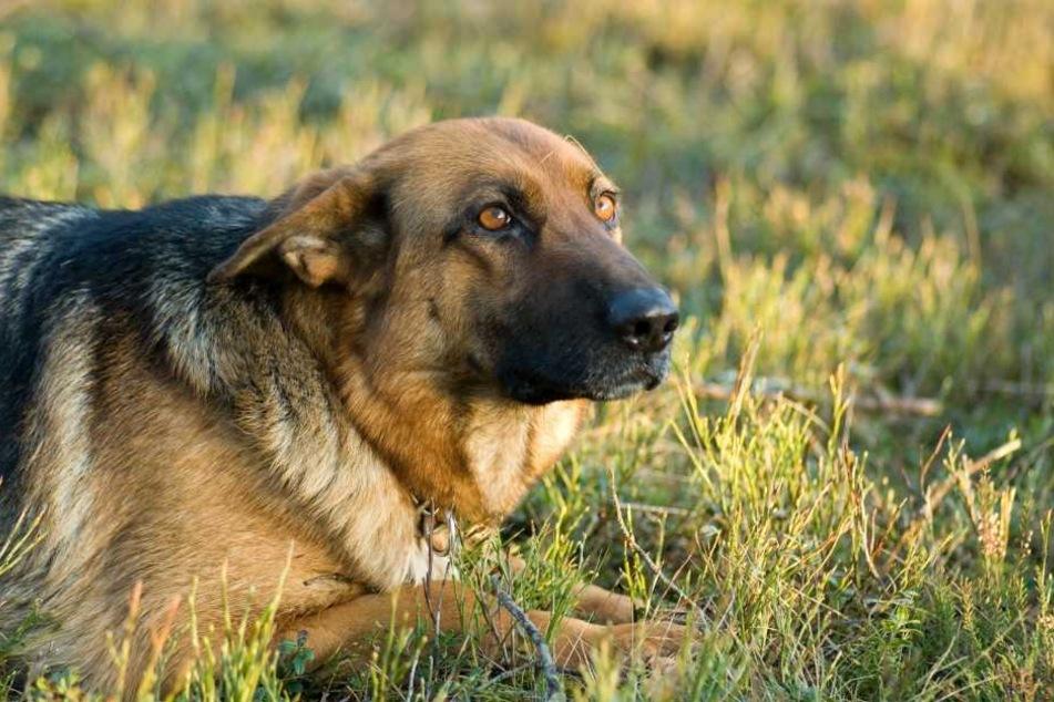 Der auf dem Anwesen lebende Schäferhund fraß die blauen Gift-Körner und konnte nicht mehr gerettet werden (Symbolbild).