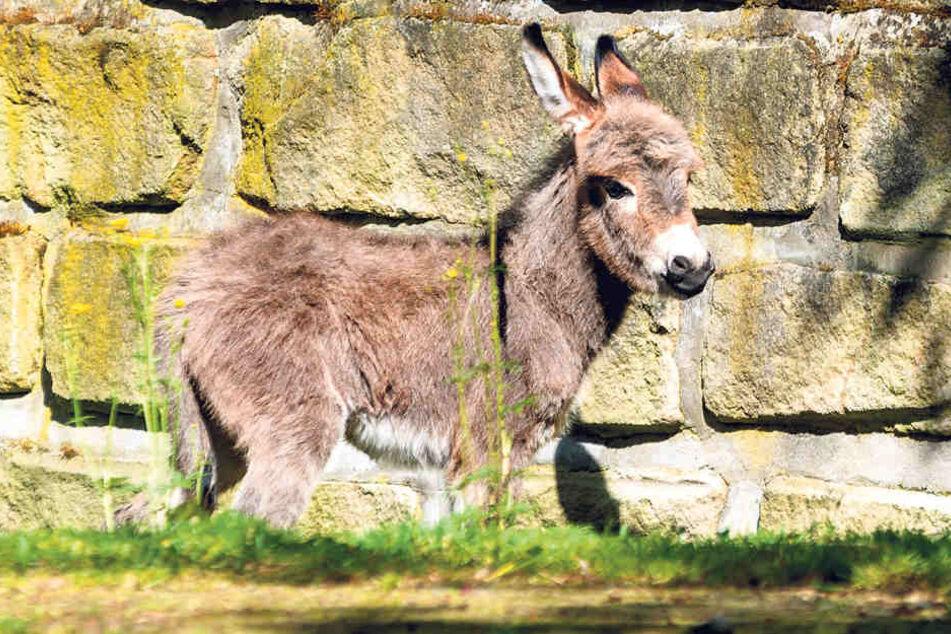 """Auch der zweite Mini-Esel schaut sich schon einmal """"auf eigenem Huf"""" die Welt  an."""