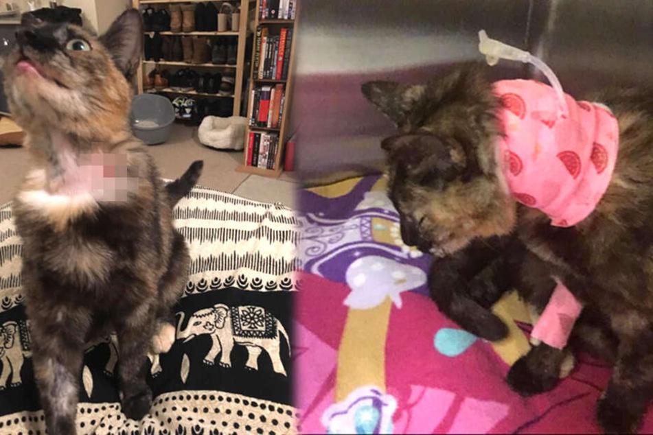 Hauskatze Cleo nach der Operation beim Tierarzt.