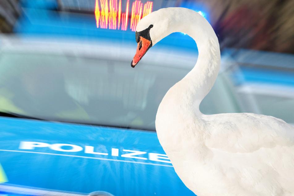 Schwan blockiert Bundesstraße und Polizei muss Verstärkung holen