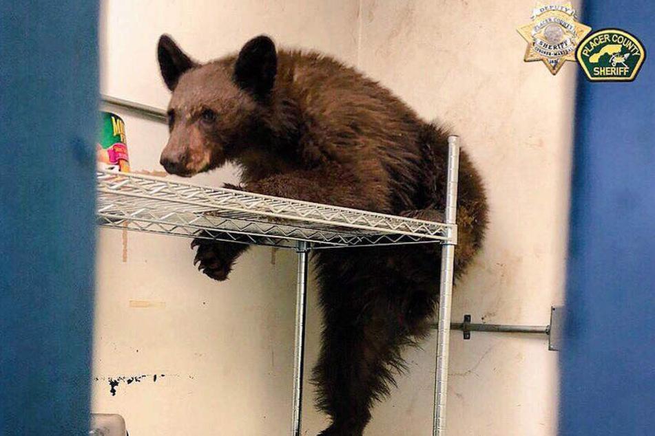 Dieser junge Bär feierte sein ganz eigenes Thanksgiving.